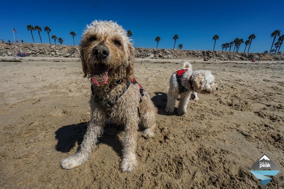 Goldendoodles At Huntington Dog Beach